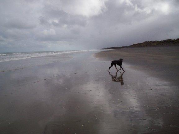 Cooper-at-Muriwai-Beach