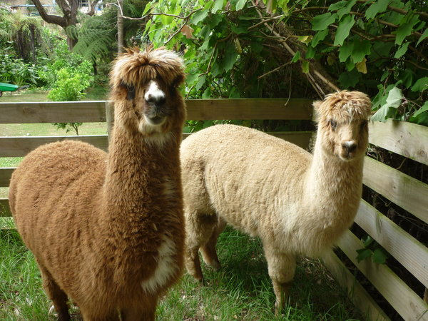 Alpacas-ready-for-sharing