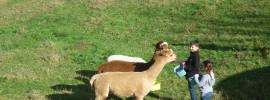 Kids feeding alpacas
