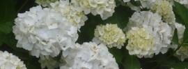flowering white hydrangeas