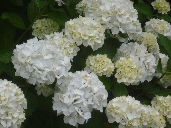 hydrangeas in flower